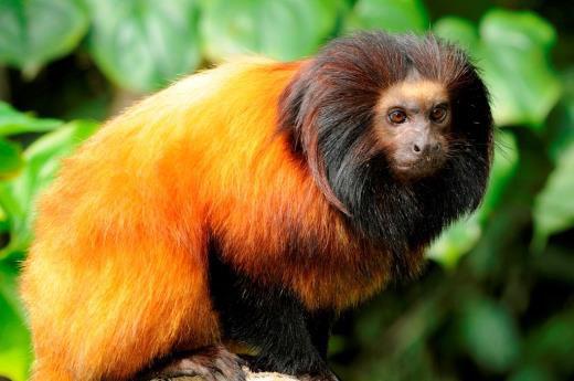 Pesquisadores registram imagens de micos-leões-da-cara-preta no litoral de São Paulo