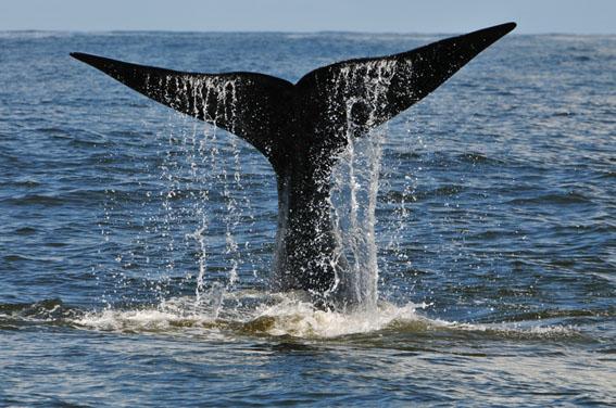 Temporada de baleias começa no Uruguai