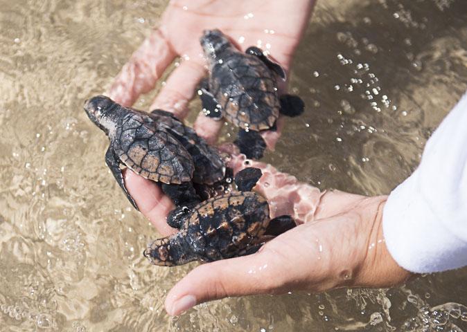 Começou a temporada das tartarugas!