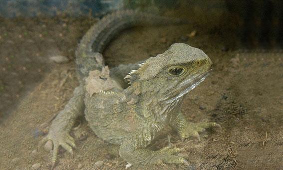 Fóssil de réptil descoberto na Alemanha ajuda a entender origem de lagartos e tuataras