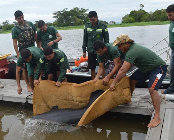 Zoológico da UNAMA reintroduzirá quatro Peixes-boi na Amazônia